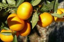 Obiranje mandarin v dolini reke Neretve