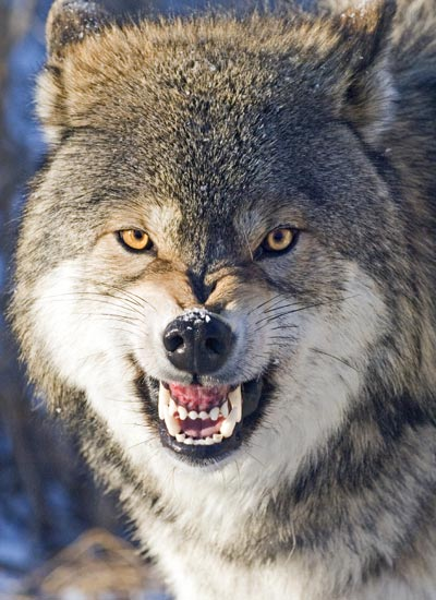 wolf-bearing-teeth.jpg
